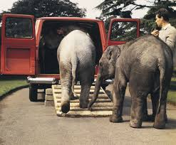 Baby Elephants and Ford Transit